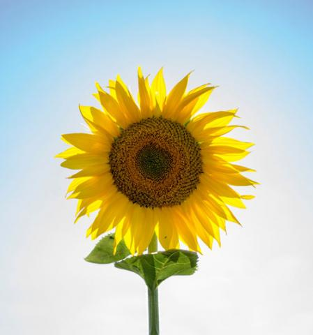 AI: Sunflower